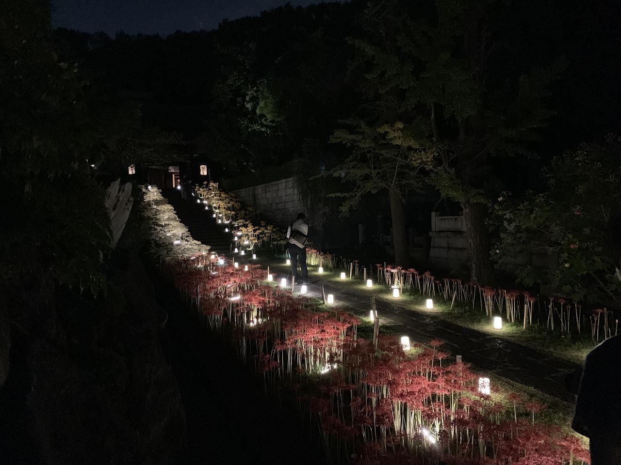 曼珠沙華 ライトアップ